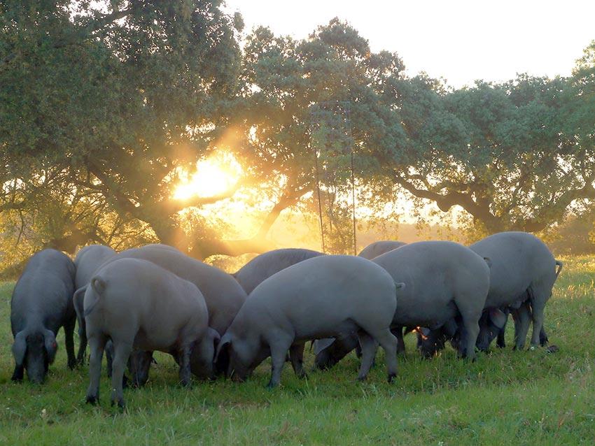 Cerdos Ibéricos de la Finca Montaneras de la Crespa
